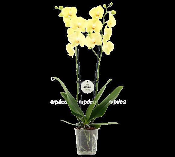 Орхидея Фаленопсис Саммер