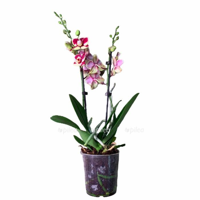 Орхидея Фаленопсис Драгон Тел
