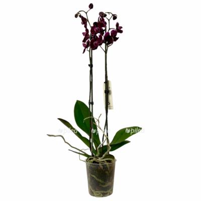 Орхидея Фаленопсис Каменная Роза