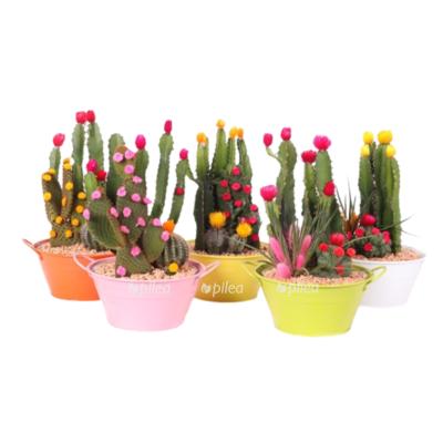Композиция Кактусов с сухоцветами