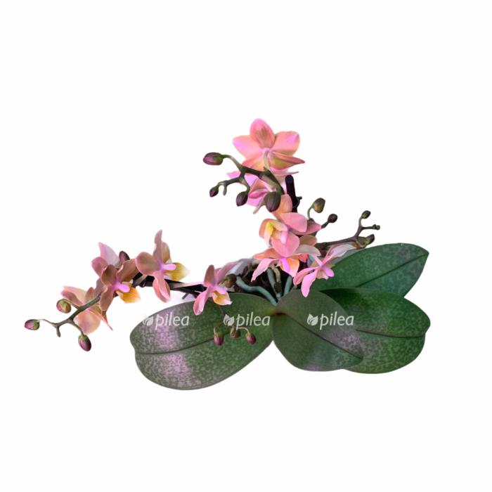 Фаленопсис Мультифлора Сцентион