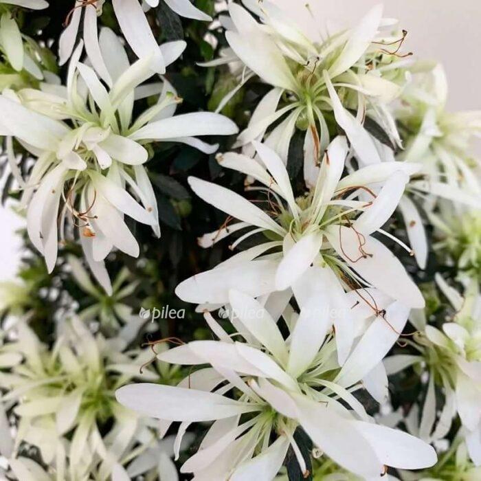 Купить Азалия Magisnow Winter Beauty