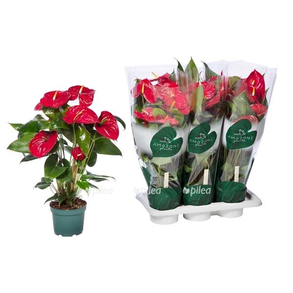 Купить Anthurium Andreanum Nevada