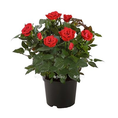 Купить Роза Амороза Микс