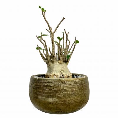 Адениум Обесум Баобаб в керамике