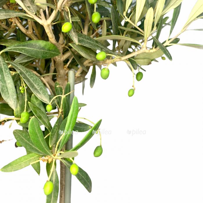 Купить Олива Европейская с плодами