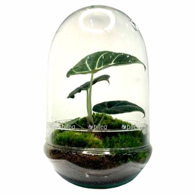 Купить Флорариум с Экосистемой «Алоказия Блэк Вельвет»