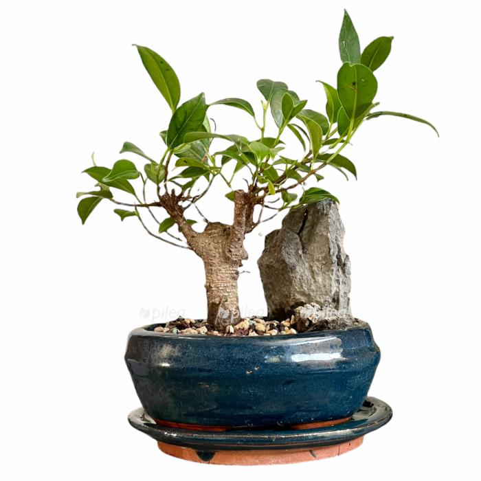 Бонсай Фикус со скалой в керамике