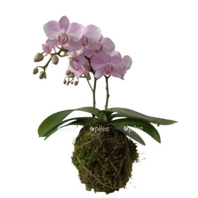 Фаленопсис Кокодама подвесной